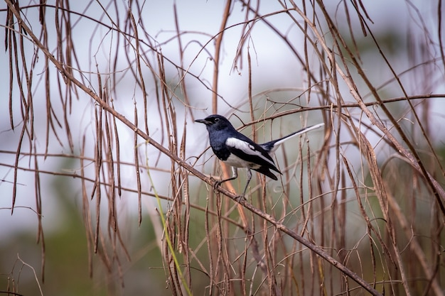 Image of oriental magpie robin (copsychus saularis) on a tree branch on white.
