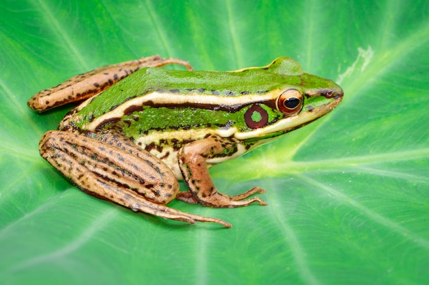 Image of paddy field green frog or green paddy frog (rana erythraea) on the green leaf. amphibian. animal.