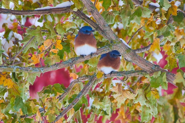 Image of pair of bluebirds on fall tree in snow with blur of red trees in background