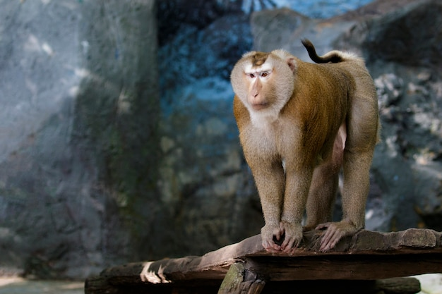 Image of pig-tailed macaque monkeys on nature. wildlife animals.