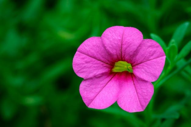Image of pink spreading petunia(petunia x hybrida) in the garden. flowers.