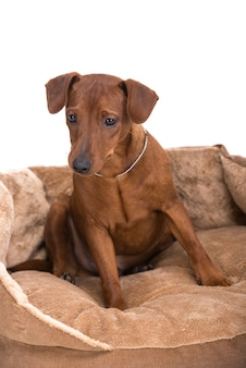 Image pinscher on a brown cushion for dogs.