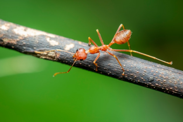 Image of red ant(oecophylla smaragdina) on the branch. insect. animal.