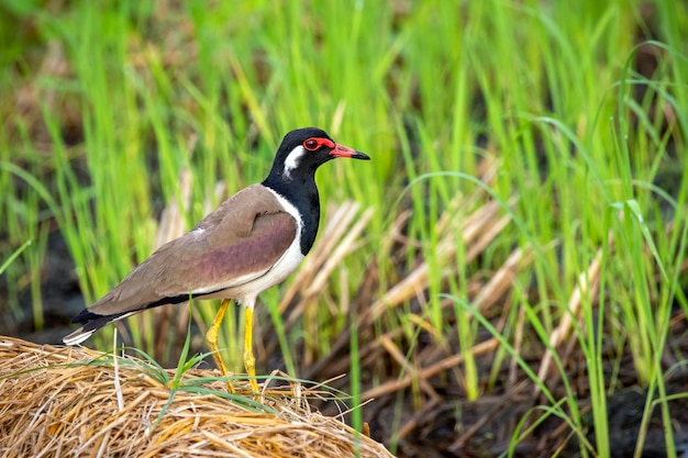 Image of red-wattled lapwing bird (vanellus indicus) on nature.