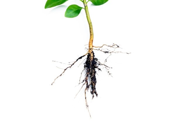 画像は、白い背景で隔離された植物の根系を詳細に示しています(根)
