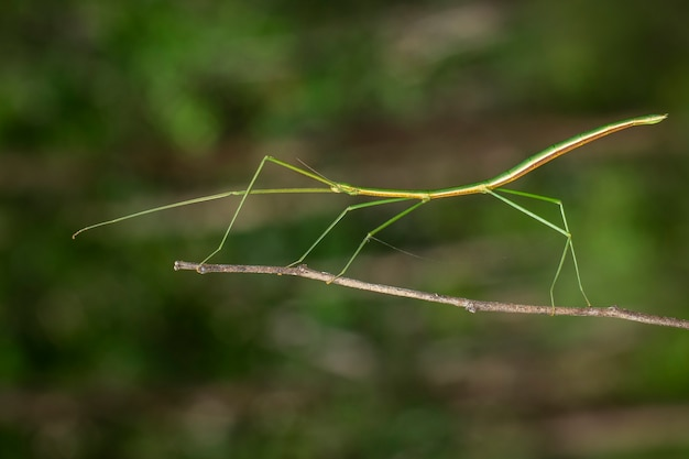 Image of a siam giant stick insect on the branch. insect.
