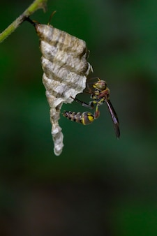 Image of a small brown paper wasp (ropalidia revolutionalis) and wasp nest. insect animal
