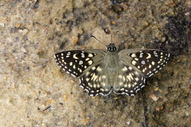 Image of the spotted angle butterfly (caprona agama agama moore,1858) on the ground. insect animal.