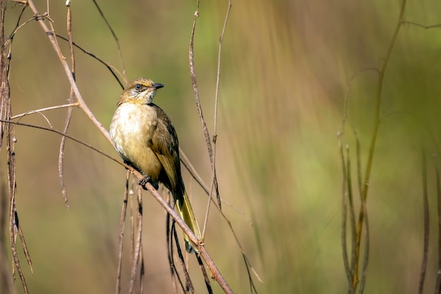 Image of streak-eared bulbul birds on nature. (pycnonotus blanfordi)