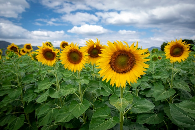 Image of sunflower field with cloudy blue sky.