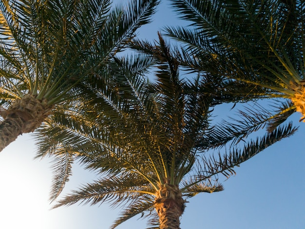 Image of three palm trees against bright blue sky and sun light