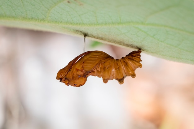 Image of troides amphyrysus ruficollis pupa. insect animal