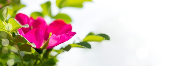 Image with soft focus with sunlit pink rosehip flower on white background with bokeh. natural beautiful background of blooming greenery. copy space for text.