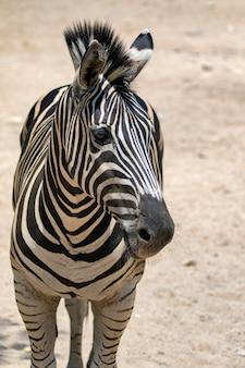Image of an zebra on nature background. wild animals.