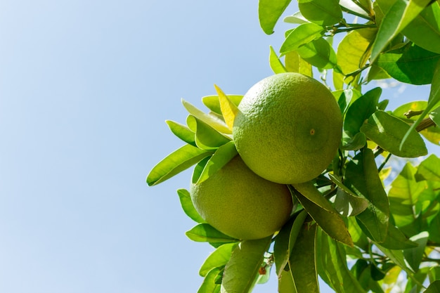 Images for two green young grapefruits on the tree