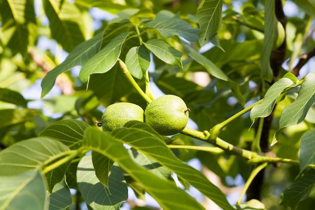 Незрелый урожай грецких орехов на ветвях деревьев весной, крупный план орехов на органической плантации, лето