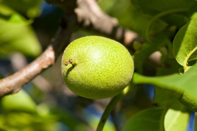春の木の枝のクルミの未熟な作物、有機農園のナッツのクローズアップ