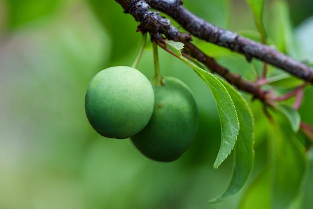 Immature plum