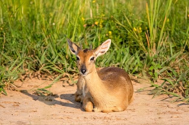 임팔라 영양 murchison 폭포 국립 공원 우간다 아프리카