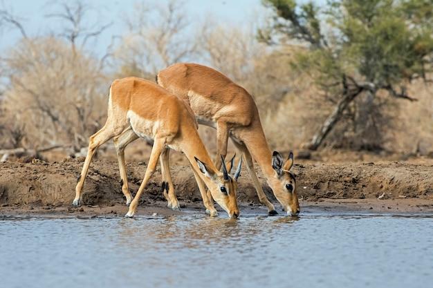 Импала антилоп питьевой воды