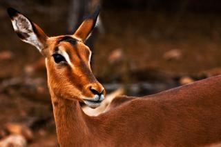 Impala female  scene