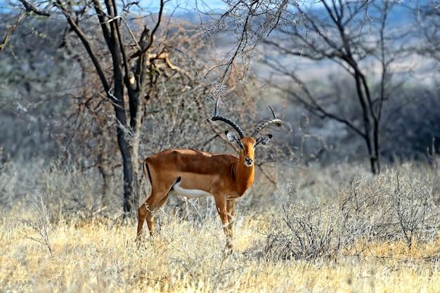野生のアフリカのサバンナのインパラガゼル