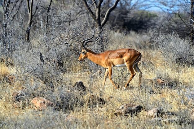 Газель импала в африканской саванне в дикой природе