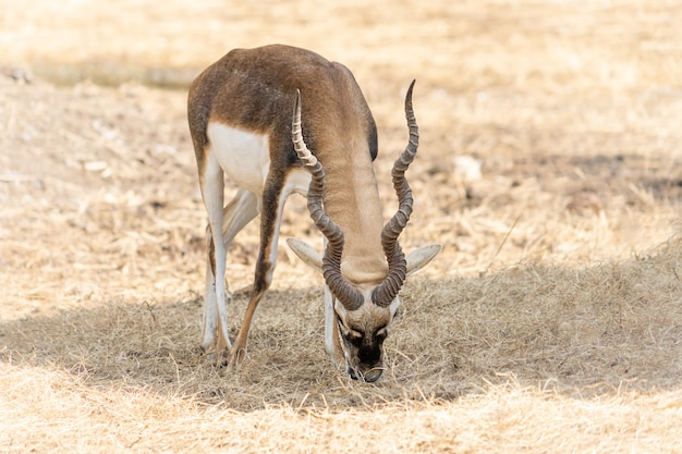 Impala with long horns standing on dried ground
