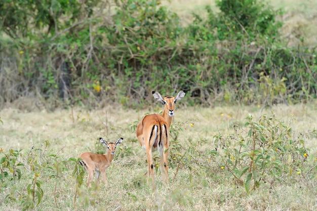 アフリカの草原で母親から授乳しているインパラの若い