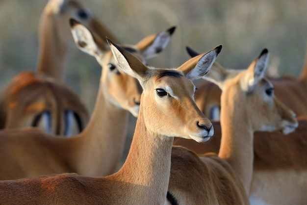 Impalas in the wild