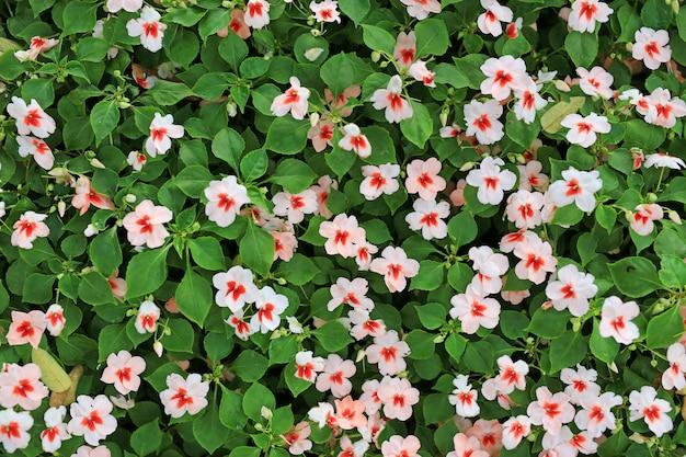 Impatiens walleriana hook.f. flower or busy lizzie flower.