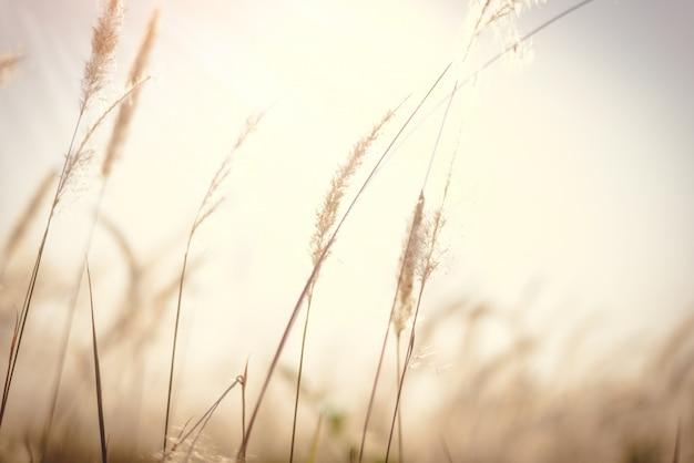 自然の中で羽の草のimperata cylindrica beauv
