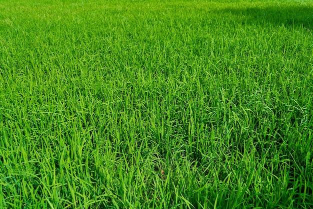 山々を背景にした印象的な風景緑の田んぼ。