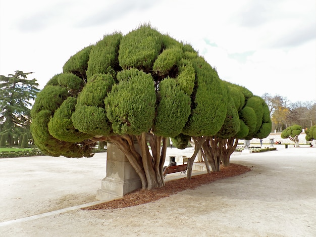 Impressive trees in parque del buen retiro or park of the pleasant retreat in madrid, spain