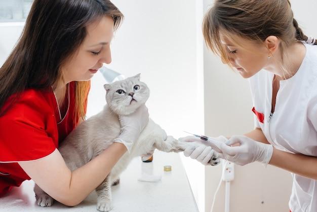В современной ветеринарной клинике чистокровный кот обследуется и лечится на столе. ветеринарная клиника.