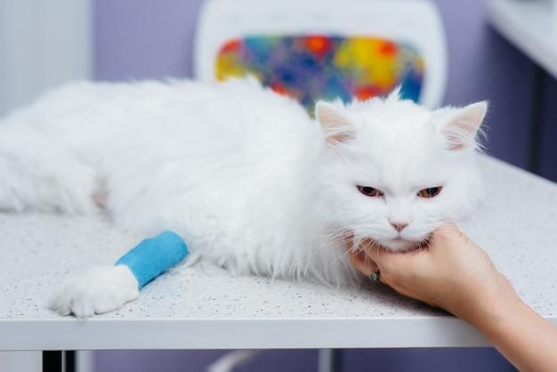 現代の獣医クリニックでは、サラブレッド猫がテーブルで検査され、治療されます。獣医クリニック。