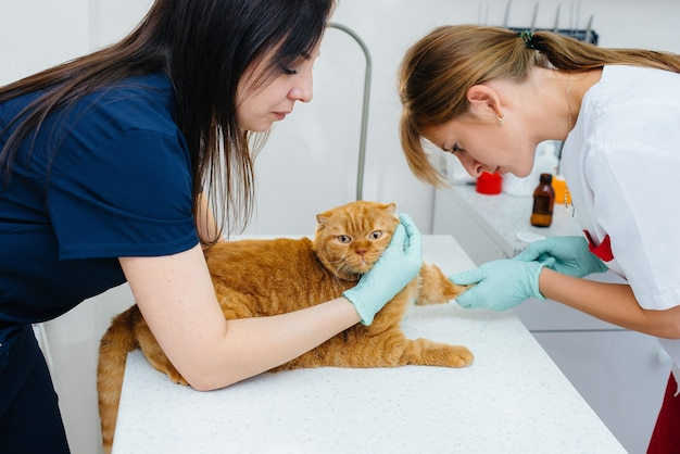 現代の獣医クリニックでは、サラブレッド猫がテーブルで検査され、治療されています