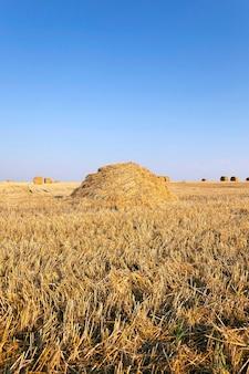 В штабеле скрученная солома остается на поле после уборки зерновых