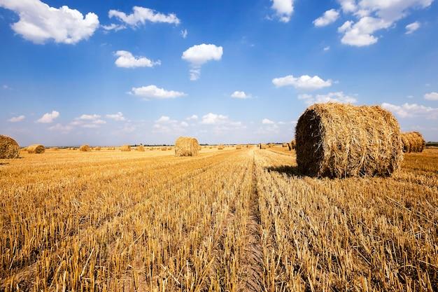 곡물을 수확 한 후 밭에 꼬인 짚 더미가 남아 있습니다.