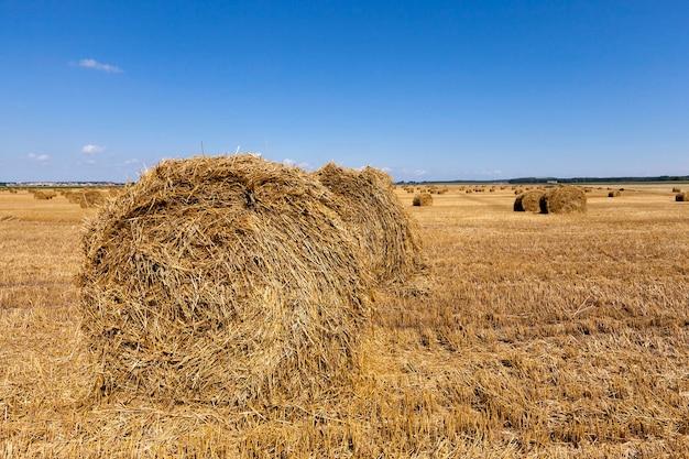 穀物を収穫した後、ねじれたわらのスタックでフィールドに残ります