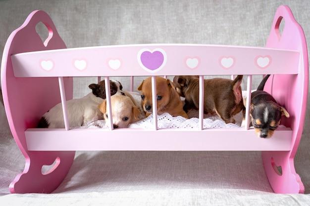 ピンクのおもちゃの木製ベッドに、5匹の小さなチワワの子犬が座っています。