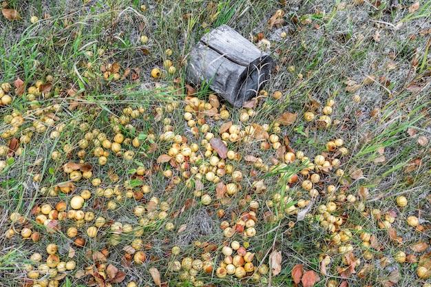 버려진 정원에서 떨어진 익은 사과는 풀밭에 누워 자연 가을 배경