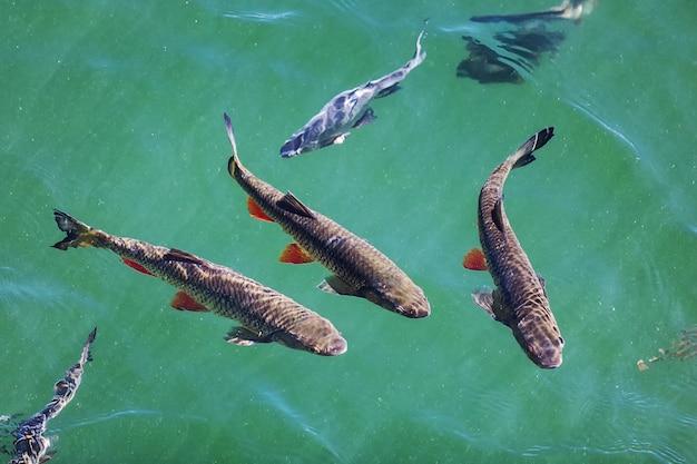 小さな湖の淡水でチャブのいくつかの種を泳ぐ