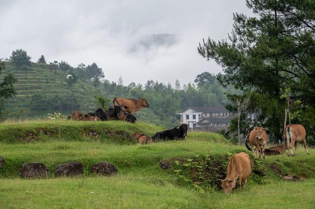野原では、緑の草の上に牛の群れが休んでいて、遠くの山に霧がかかっていました。