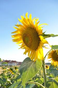 手前のひまわり畑のひまわり畑(焦点が合っていない)には、夏の日に小さな村があります。