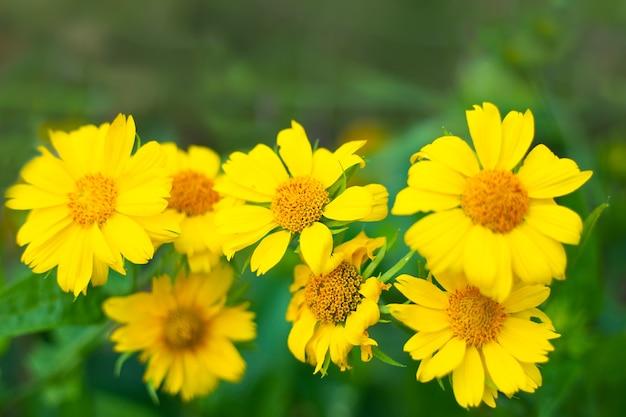 정원에는 다년생 식물인 gaillardiaristata maxima aurea의 노란색 꽃이 핍니다. 번식 및 관리. 선택적 초점입니다.