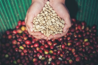 In the hands that carry coffee beans