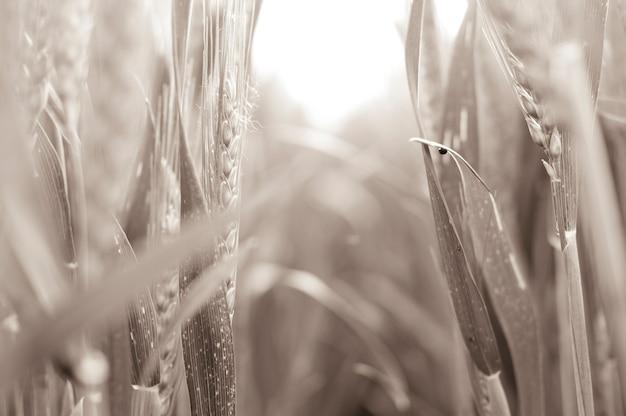 Посреди зернового поля