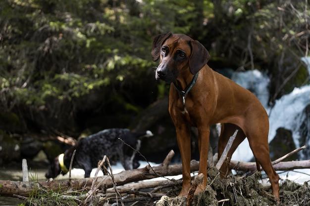 写真は立って観察している犬のローデシアン・リッジバックです。写真は、ドイツ、バイエルン州、シルヴェンシュタインシュタウジーのヴァルヒェン川の近くで撮影されました。