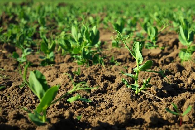 В почве всходы зеленого гороха. зеленые побеги в саду. овощной горох в поле. цветущие бобовые. возделывание